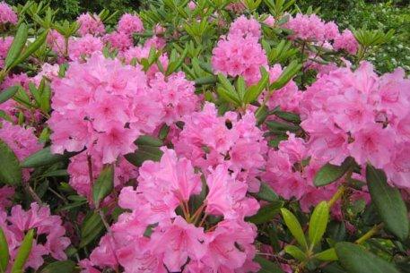 Biolan Augsne rododendriem un skujeņiem
